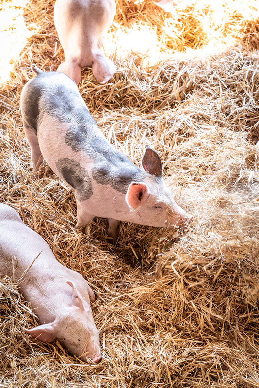 Young pigs in straw, Le Rougeot du Charvin®